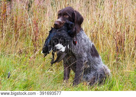 German Wirehaired Pointer Sits In The Grass And A Shot Wildfowl (black Grouse Cock) In Its Teeth Dur