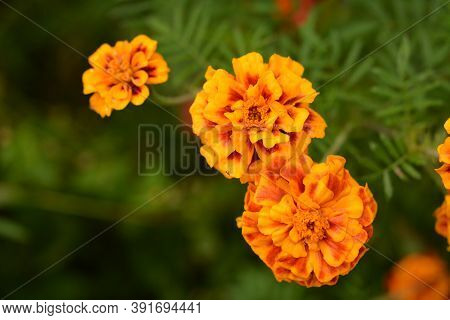 Marigold Flowers Garland Background.beautiful Orange Red Marigold Flowers & Leaves Background Patter
