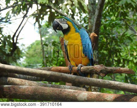 Ara Ararauna Or Yellow Macaw On A Tree Branch