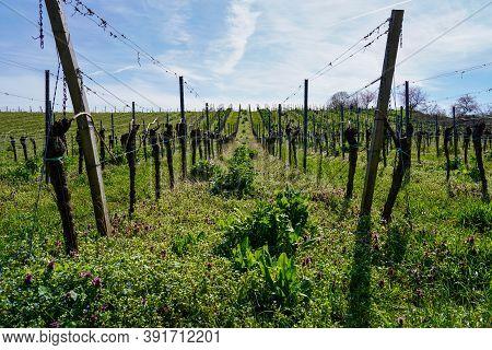 Almond Tree Field, Prunus Dulcis, Southern Wine Street, Gimmeldingen Neustadt, Rhineland-palatinate