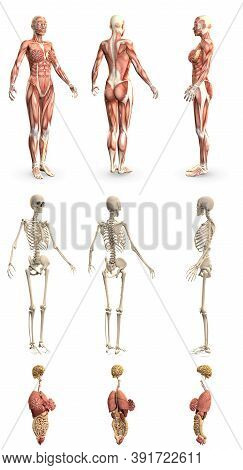 9 In 1, Female Body With Skeleton And Internal Organs - Physiology Concept For Science - Cg High Det
