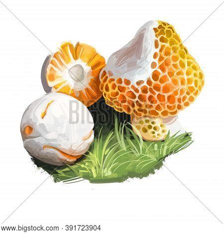 Cyttaria Espinosae Digguene Lihuene Or Quidene, Orange-white Colored Edible Ascomycete Fungus Native