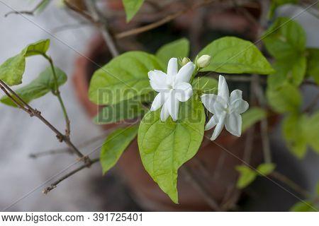 Fresh Jasminum Flower In Brown Pot On Tree On Blur Nature Background.