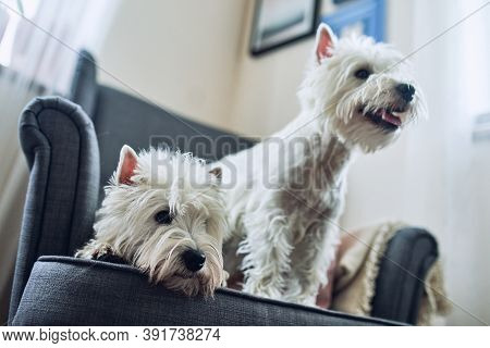 A Pair Of Lovely West Highland White Terrier Are Sitting At Home On A Gray Chair. Pets, Loyal Friend