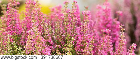 Surreal Landscape Flowering Erica Tetralix Small Pink Lilac Plants, Shallow Depth Of Field, Selectiv
