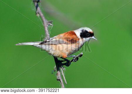 penduline tit in natural habitat (remiz pendulinus)