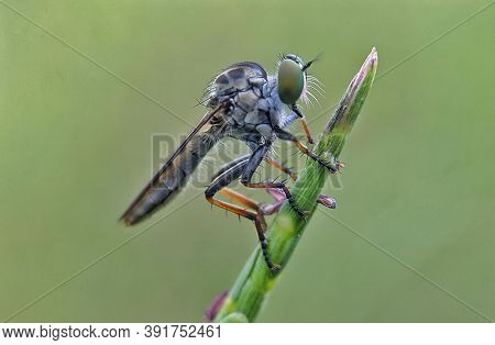The Asilidae Are The Robber Fly Family, Also Called Assassin Flies. Close Up Detail Of Robber Flies,