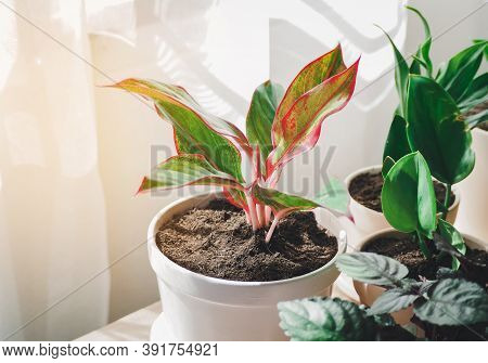 Green Tree In White Ceramic Pots On The Wooden Table. Concept At Home Interior Gardening Filled Plan