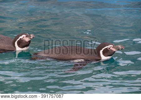 Two Humboldt Penguins Are Swimming Into The Blue Water. Spheniscus Humboldti Or Peruvian Penguin.