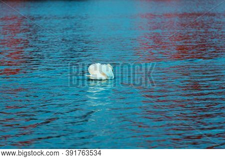 White Swan On Blue Lake Water. Beautiful Reflections And Glare Of Sunlight On The Water. Waterfowl C