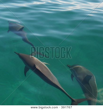 Green Dolphins