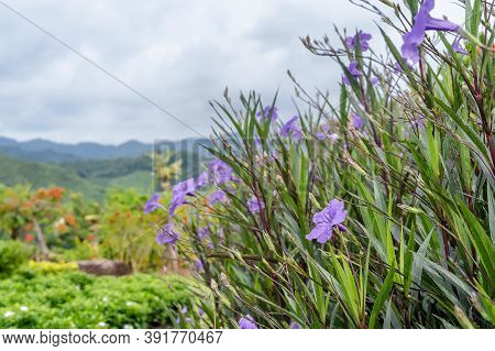 Selective Focus On The Front Of A Beautiful Purple Flower Blooming (ruellia Tuberosa, Waterkanon) Wi