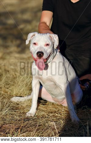 White Staff Terrier For A Walk With Its Owner. The Dog Sits On The Grass, Sticking Out Its Tongue. T