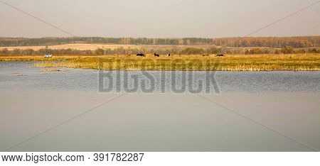 Cows Graze In The Pasture Near The Lake On An Autumn Sunny Day