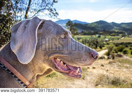 Weimaraner Dog Looking At The Beautiful Landscapes Of La Calera A Municipality Located On The Easter