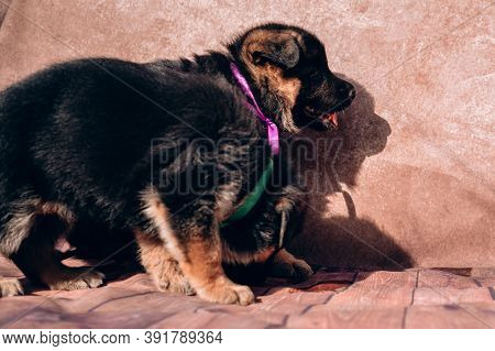 Two Small Charming German Shepherd Puppies Of Black And Red Color Sit On A Light Brown Background. P