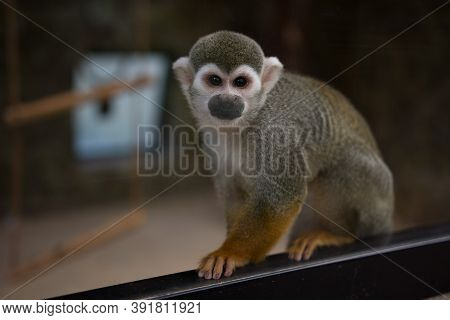 Saimiri Or Squirrel Monkey At The Zoo