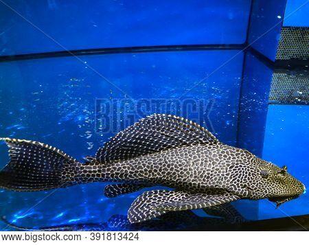 A Huge Antenna Catfish, Ancistrus Dolichopterus Or Antenna Armor Catfish In The Aquarium.