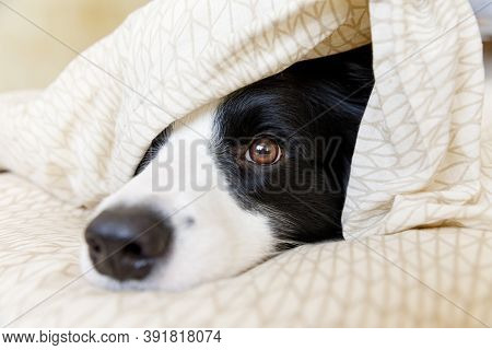 Funny Portrait Of Cute Smilling Puppy Dog Border Collie Lay On Pillow Blanket In Bed. New Lovely Mem