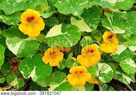 Beautiful Yellow Nasturtium Flowers In Full Bloom