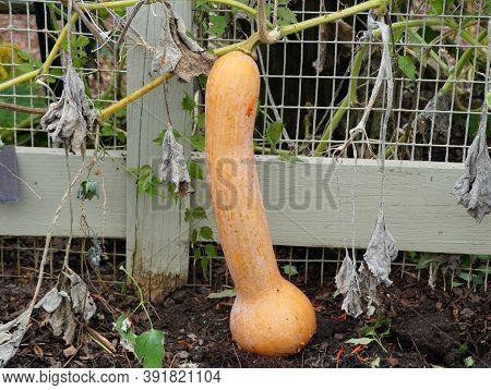 A Unique Shape Of A Pale Orange Gourd In The Garden