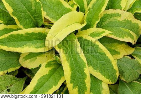 Green And Yellow Leaves Of Comfrey 'axminster Gold' Plants