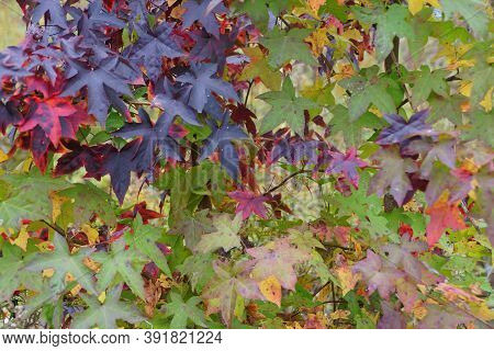 Variety Leaves Of Maples Tree Changing Colors In The Fall
