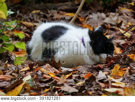 White And Black Tabby Cat Sleeping At A Garden Surrounded By Fallen Leaves