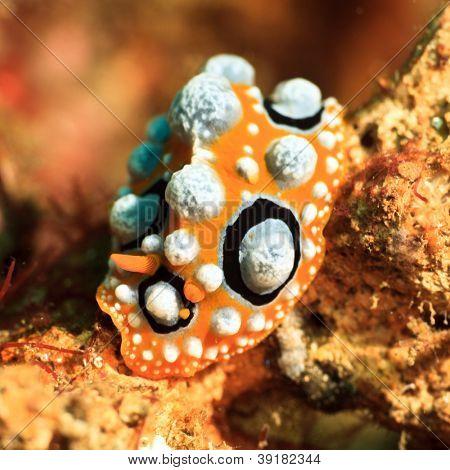 Macro shot of a Phyllidia ocellata nudibranch underwater