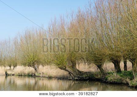 Typical knotted pollard willows in Dutch Biesbosch landscape