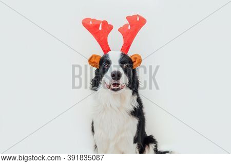Funny Studio Portrait Of Cute Smiling Puppy Dog Border Collie Wearing Christmas Costume Red Deer Hor