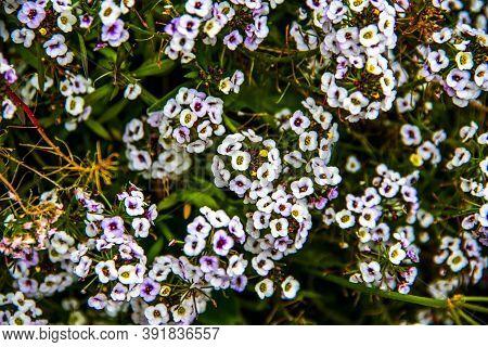 Close Up Of Lobularia Maritima In The Chiampo Valley, Veneto, Italy