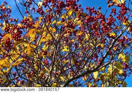 Beautiful Autumnal Background Of Berries On Tree. Downy Hawthorn (crataegus Mollis) Fruits And Leave