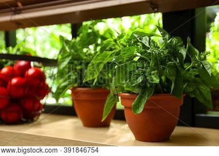 Green Basil Plant In Pot On Window Sill Indoors