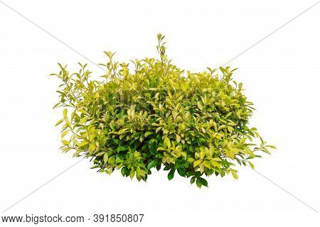 Tropical Bush Tree Isolated On White Background With Clipping Path.