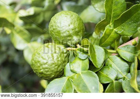 Fresh Bergamots And Leaves On Tree Outdoor