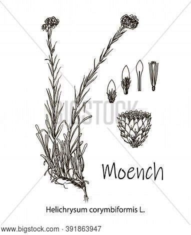 Moench, Vintage Engraved Illustration. More Realistic Botanical Illustration. Image For Your Design.