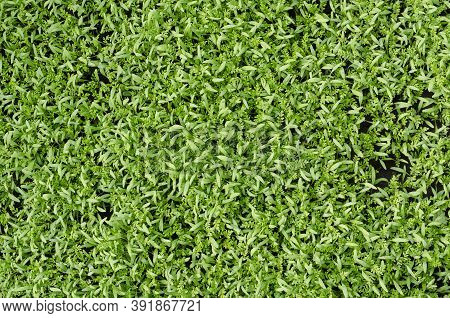 Full Frame Of Green Stems And Leaves Of Plants Siderates. Siderates Or Green Fertilisers Are Plants