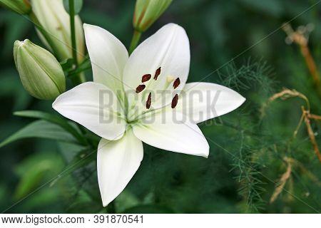 Lilium Candidum Flower. Beautiful White Plant In Garden. Madonna Lily Flower, Green Background.