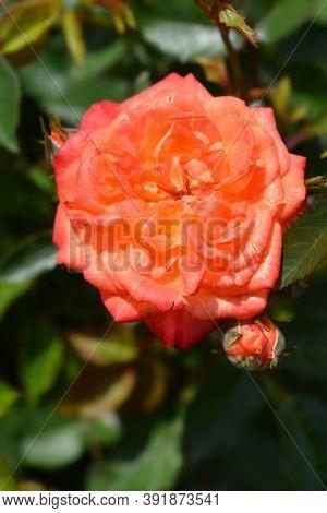 Rose Baby Masquerade - Latin Name - Rosa Baby Masquerade