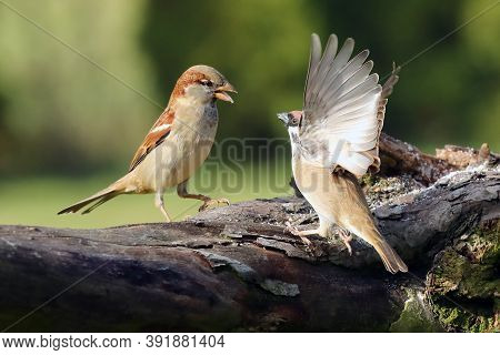 The House Sparrow (passer Domesticus) And Eurasian Tree Sparrow (passer Montanus) Are Fighting On A