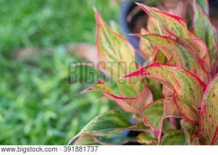Close-up Of Aglaonema Siam. Chinese Evergreen Plant. The Siam Has Smooth Green Leaves That Have Vary