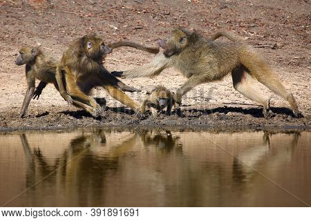 The Chacma Baboon (papio Ursinus), Scuffle On The Water. Aggressive Behavior Of Large Baboons.