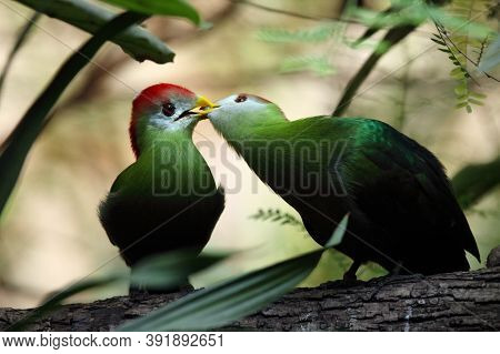 The Red-crested Turaco (tauraco Erythrolophus) Pair On The Branch In The Bush. A Couple Of Turaco Fe