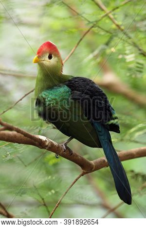 The Red-crested Turaco (tauraco Erythrolophus) On The Branch In The Bush. Green Turaco With A Red He