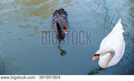 Beautiful Swans Swim In The Park Pond. Portrait Of A Couple Of Swans, Black And White.