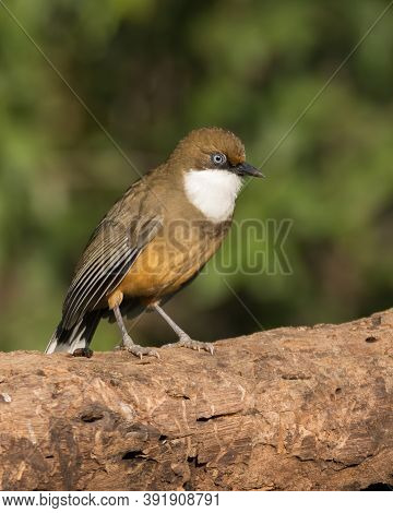 A White-throated Laughingthrush (pterorhinus Albogularis), Perched On A Tree Log, In The Forests Of