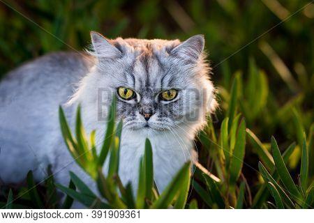 Persian Chinchilla Cat. Cat Sitting In The Grass Outdoors. Beautiful Cat.
