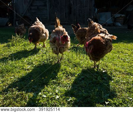 Silhouettes Of Chickens In A Harsh Backlight With Glowing Feathers In Farmyard During Sunny Evening