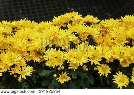 Bright Yellow Chrysanthemum Flowers At Full Bloom